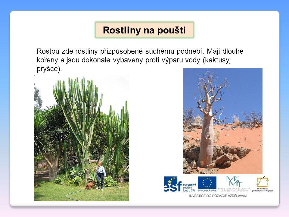 Rostliny na poušti Rostou zde rostliny přizpůsobené suchému podnebí. Mají dlouhé kořeny a jsou dokonale vybaveny proti výparu vody (kaktusy, pryšce).