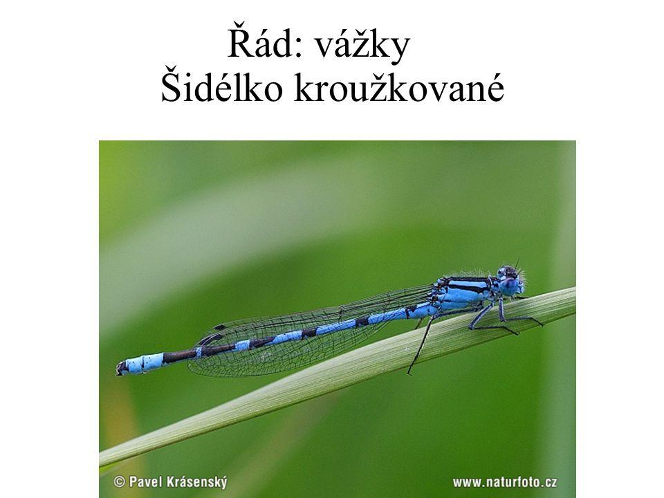 Řád: vážky Šidélko kroužkované