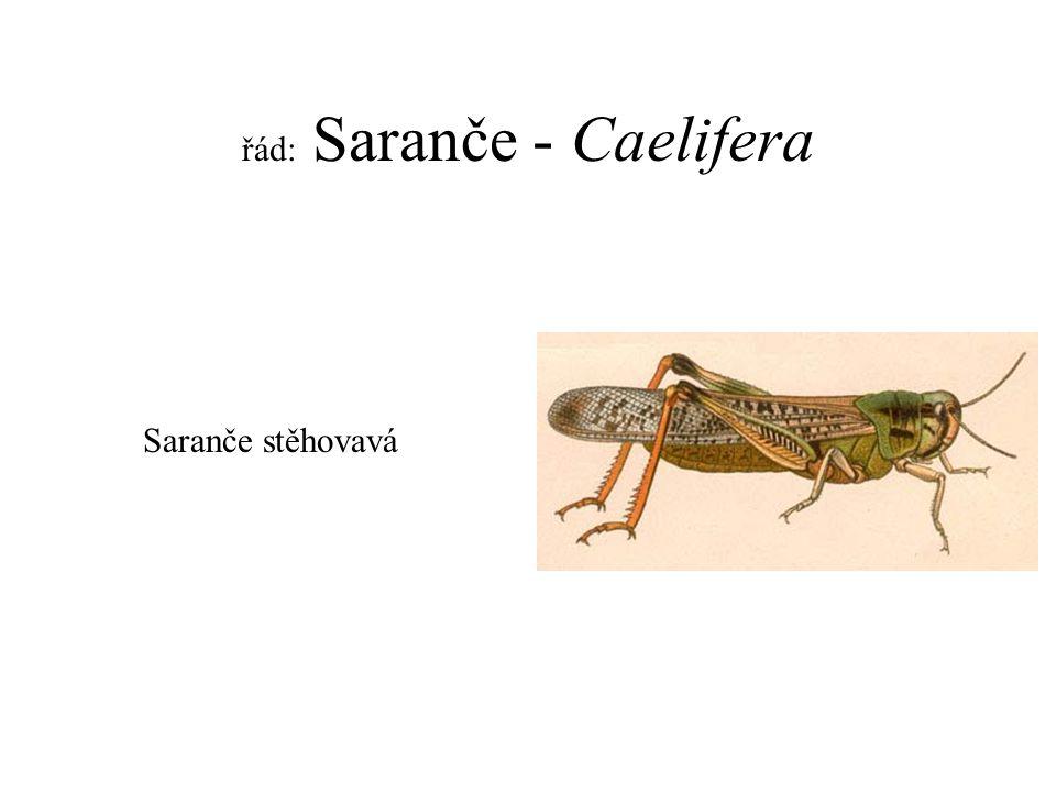 řád: Saranče - Caelifera Saranče stěhovavá