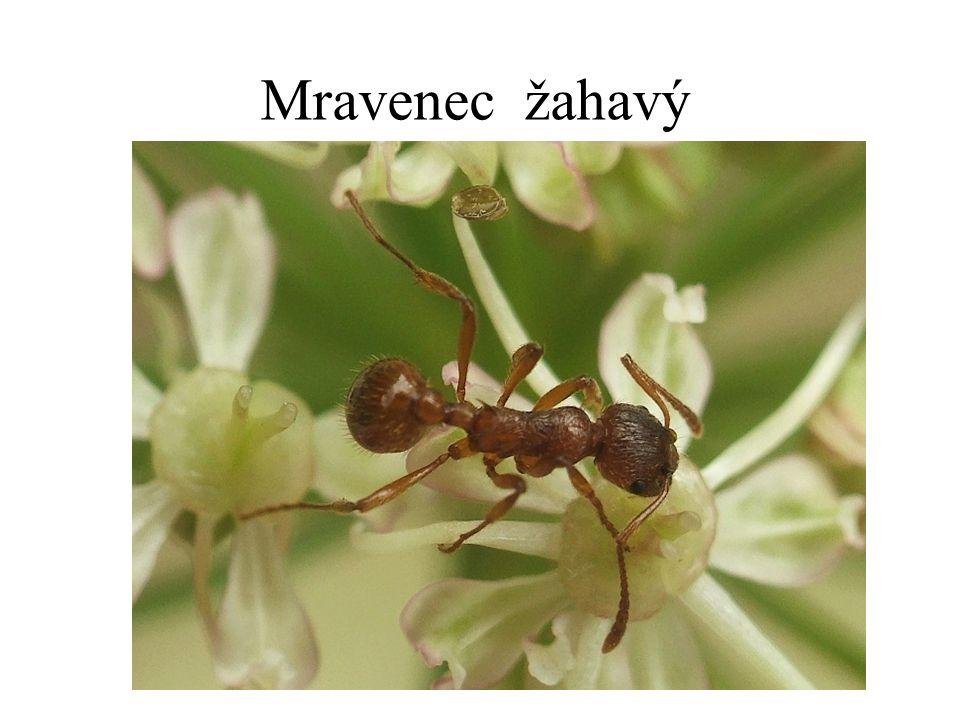 Mravenec žahavý