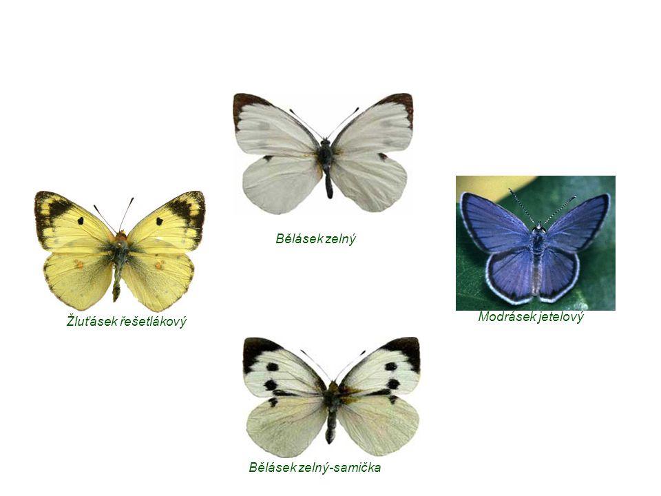 Bělásek zelný-samička Bělásek zelný Žluťásek řešetlákový Modrásek jetelový