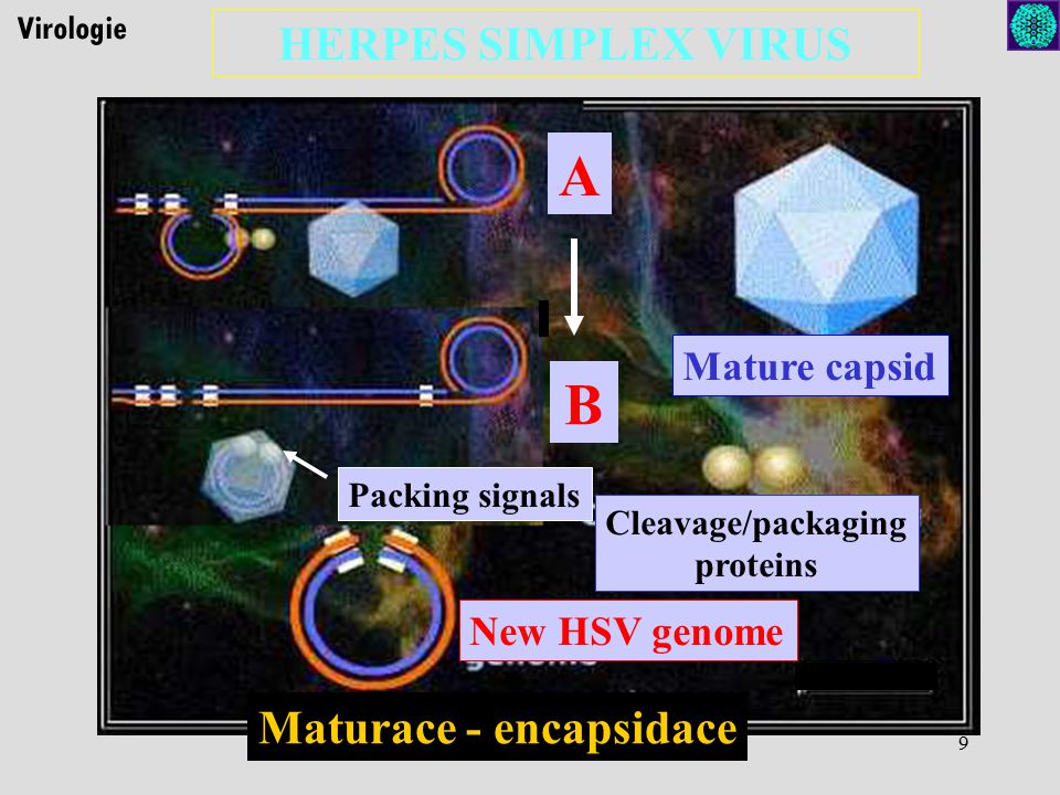 9 Virologie HERPES SIMPLEX VIRUS B A Mature capsid Cleavage/packaging proteins New HSV genome Packing signals Maturace - encapsidace