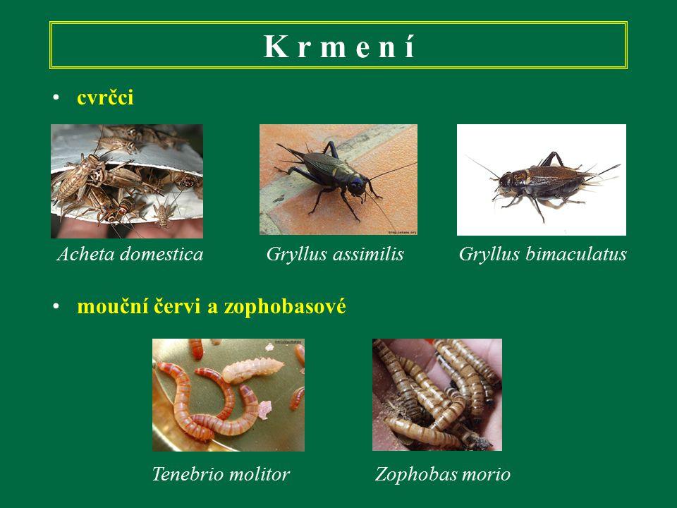 K r m e n í cvrčci Acheta domestica Gryllus assimilis Gryllus bimaculatus mouční červi a zophobasové Tenebrio molitor Zophobas morio