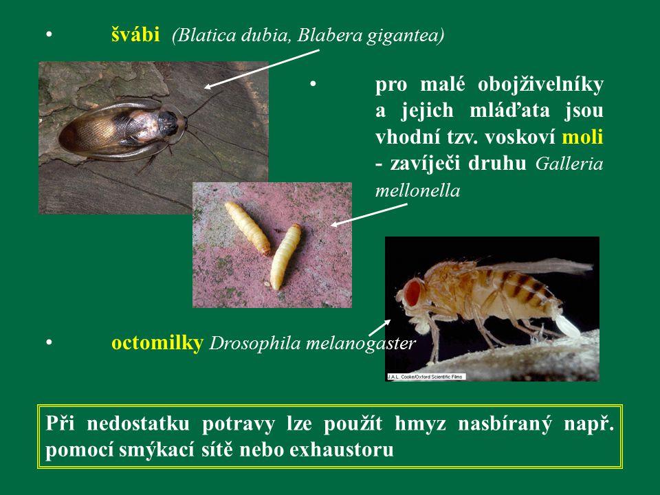 švábi (Blatica dubia, Blabera gigantea) pro malé obojživelníky a jejich mláďata jsou vhodní tzv. voskoví moli - zavíječi druhu Galleria mellonella oct