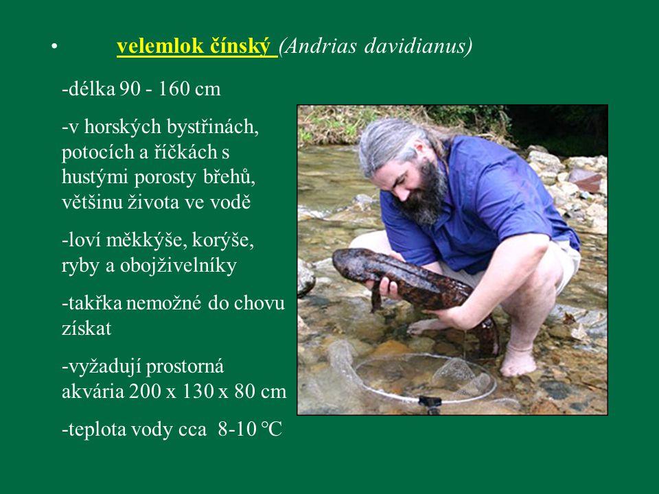 velemlok čínský (Andrias davidianus) -délka 90 - 160 cm -v horských bystřinách, potocích a říčkách s hustými porosty břehů, většinu života ve vodě -lo