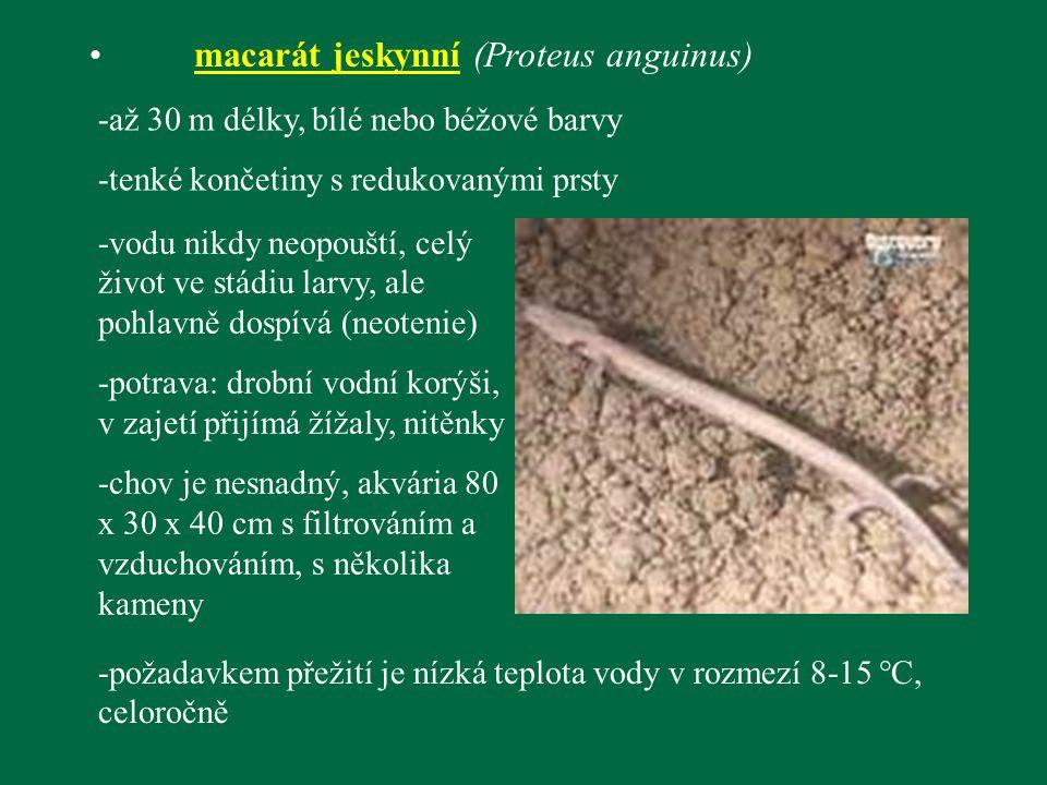 macarát jeskynní (Proteus anguinus) -až 30 m délky, bílé nebo béžové barvy -tenké končetiny s redukovanými prsty -vodu nikdy neopouští, celý život ve