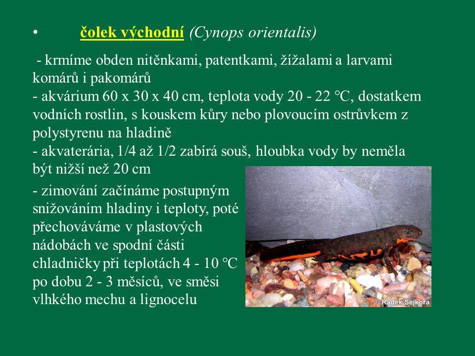 čolek východní (Cynops orientalis) - krmíme obden nitěnkami, patentkami, žížalami a larvami komárů i pakomárů - akvárium 60 x 30 x 40 cm, teplota vody