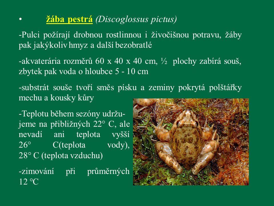 žába pestrá (Discoglossus pictus) -Pulci požírají drobnou rostlinnou i živočišnou potravu, žáby pak jakýkoliv hmyz a další bezobratlé -akvaterária roz