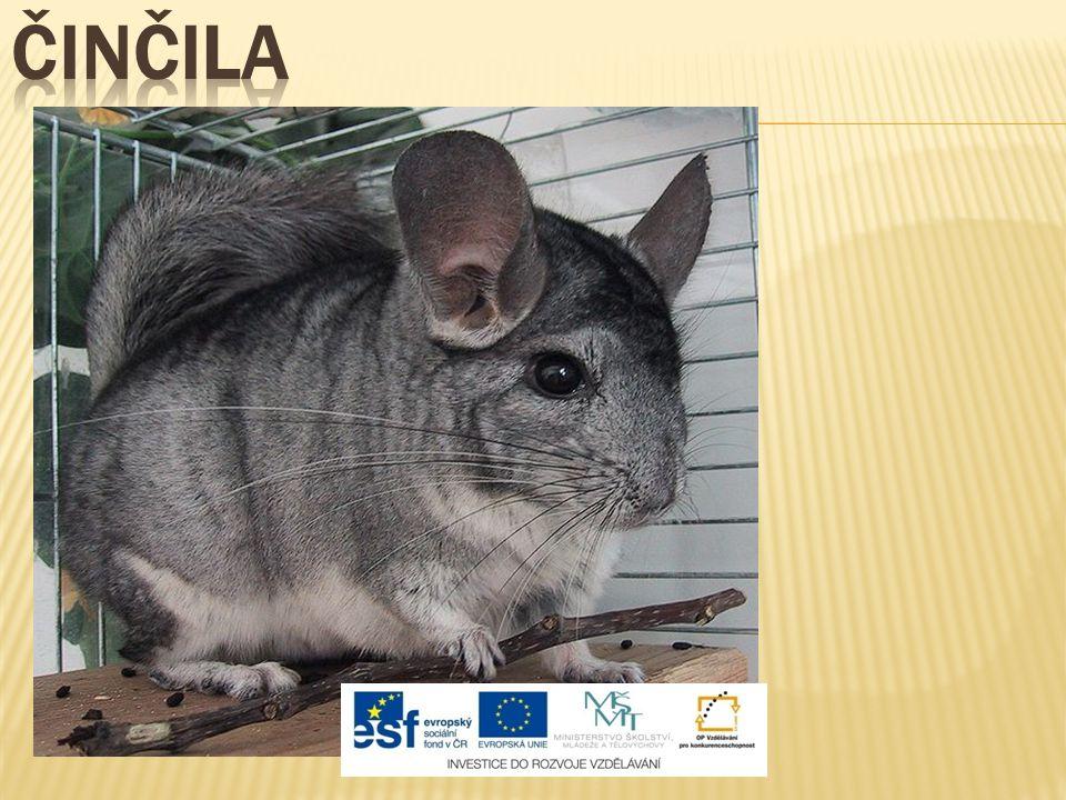  původ: Andy Jižní Ameriky  velké uši a ocas  bývá chována na kožešinových farmách  stala se oblíbeným domácím zvířetem