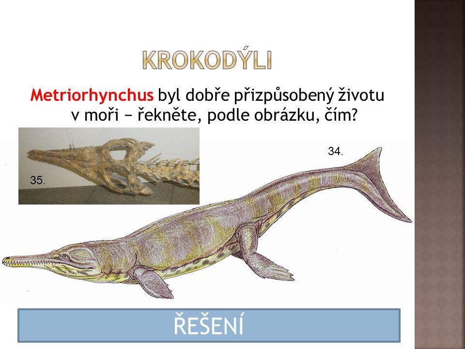 Metriorhynchus byl dobře přizpůsobený životu v moři − řekněte, podle obrázku, čím? 34. 35. Měl končetiny přeměněné ve veslovité ploutve a ocas byl tak