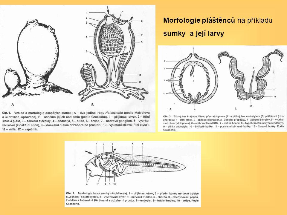 Morfologie pláštěnců na příkladu sumky a její larvy