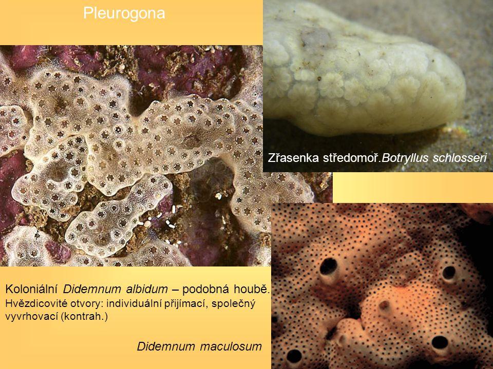 Koloniální Didemnum albidum – podobná houbě. Hvězdicovité otvory: individuální přijímací, společný vyvrhovací (kontrah.) Didemnum maculosum Pleurogona