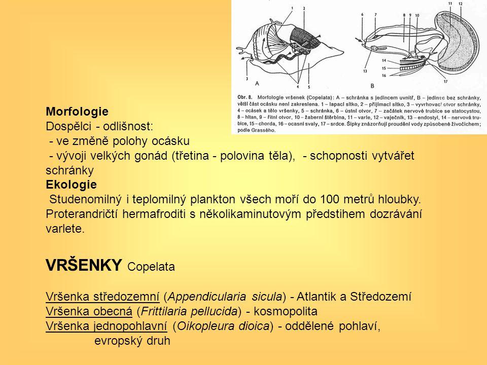 Morfologie Dospělci - odlišnost: - ve změně polohy ocásku - vývoji velkých gonád (třetina - polovina těla), - schopnosti vytvářet schránky Ekologie St