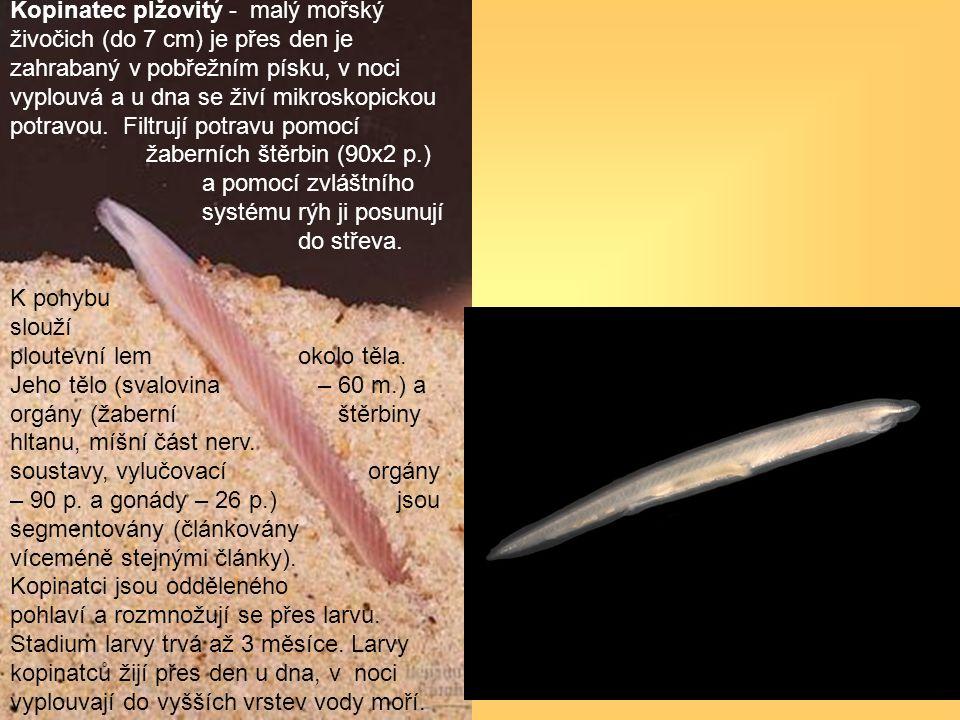 Kopinatec plžovitý - malý mořský živočich (do 7 cm) je přes den je zahrabaný v pobřežním písku, v noci vyplouvá a u dna se živí mikroskopickou potravo