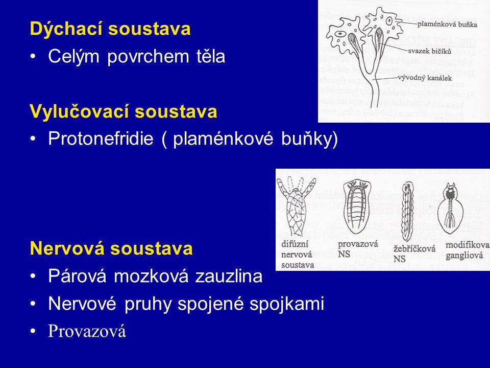 Dýchací soustava Celým povrchem těla Vylučovací soustava Protonefridie ( plaménkové buňky) Nervová soustava Párová mozková zauzlina Nervové pruhy spoj
