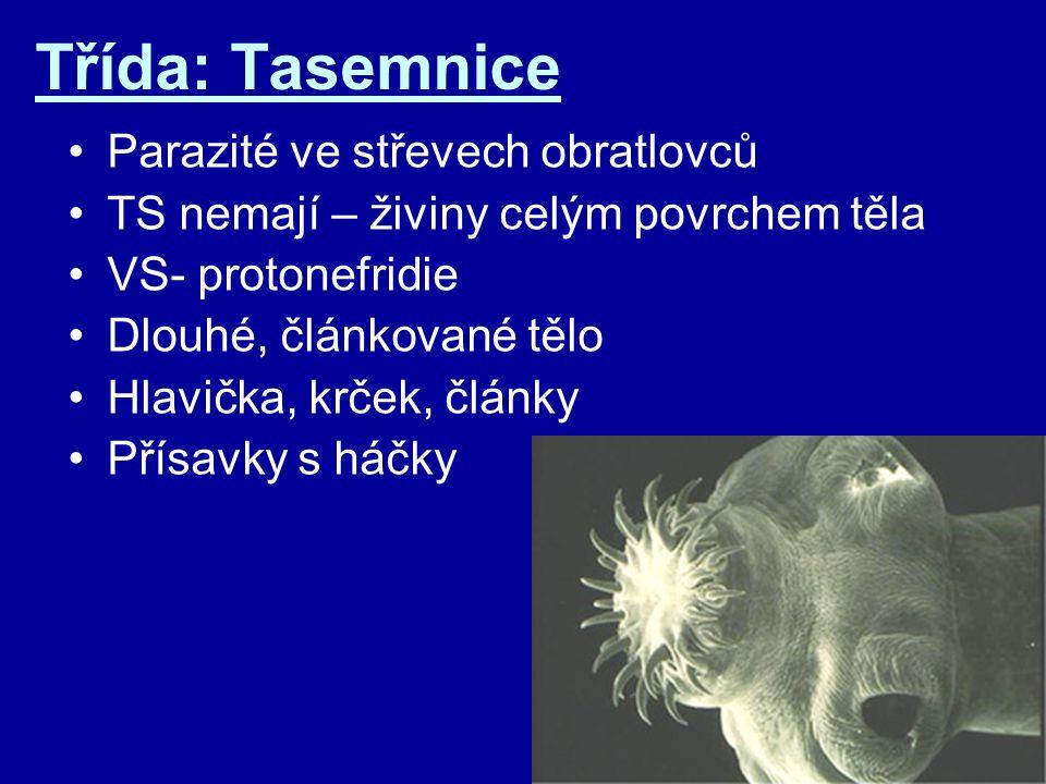 Třída: Tasemnice Parazité ve střevech obratlovců TS nemají – živiny celým povrchem těla VS- protonefridie Dlouhé, článkované tělo Hlavička, krček, člá