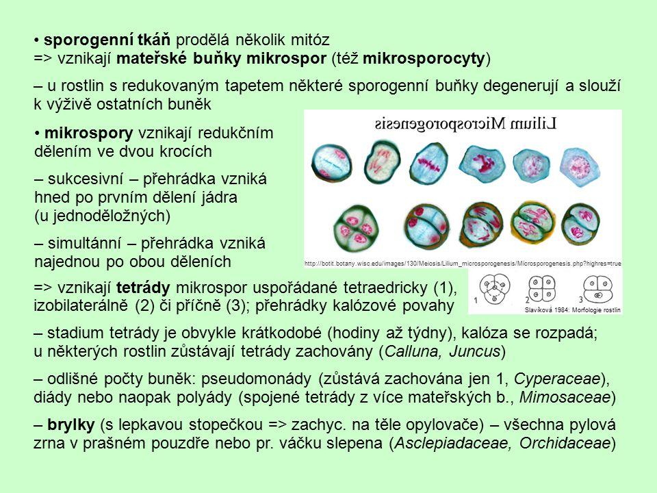 sporogenní tkáň prodělá několik mitóz => vznikají mateřské buňky mikrospor (též mikrosporocyty) – u rostlin s redukovaným tapetem některé sporogenní b