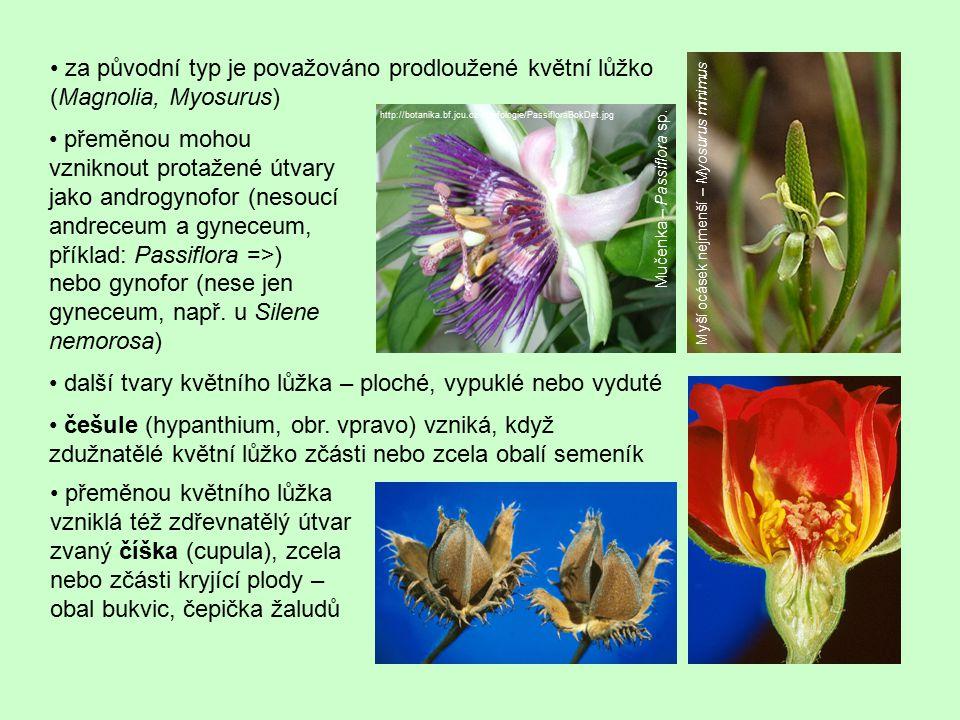 další tvary květního lůžka – ploché, vypuklé nebo vyduté češule (hypanthium, obr. vpravo) vzniká, když zdužnatělé květní lůžko zčásti nebo zcela obalí