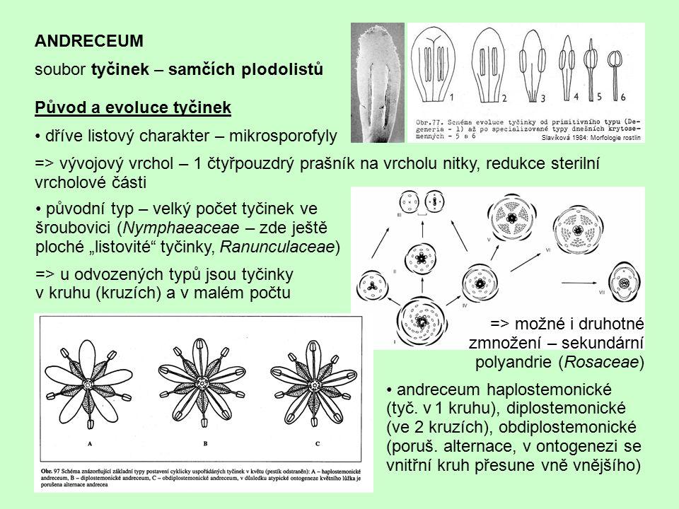 ANDRECEUM soubor tyčinek – samčích plodolistů Původ a evoluce tyčinek dříve listový charakter – mikrosporofyly => vývojový vrchol – 1 čtyřpouzdrý praš