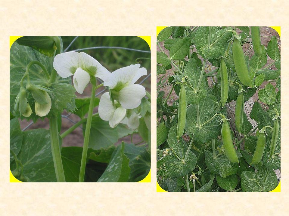 Bob obecný (Faba vulgaris) jednoletá rostlina s dlouhou vegetační dobou nepříliš vyvinutý kořenový systém stonek – lodyha listy – sudozpeřené, zakončené hrotem květy – velké, bílé, s tmavou skvrnou na květních křídlech, pětičetné plod – lusk hnědé až černé barvy, světle hnědá semena hypogeické klíčení vysoký obsah bílkovin, lysinu, hořkých a antinutričních látek vysévá se na jaře