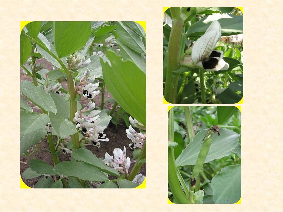 Lékořice Lysá (Glycyrrhiza glabra) vytrvalá rostlina dlouhé kořeny (až 100 cm) a oddenky stonek – přímý, silný, lodyha listy – lichozpeřené, na spodní straně žláznaté a lepkavé květy – bledě fialové hroznovité květenství plod – lusk léčivé účinky používaná část – kořen (Liquiritiae radix), oddenky významné obsahové látky: kumariny, flavonoidy, saponiny – převážně glycyrrhizinu, silice kvete v červnu a červenci výskyt: převážně blízký východ a jižní Evropa
