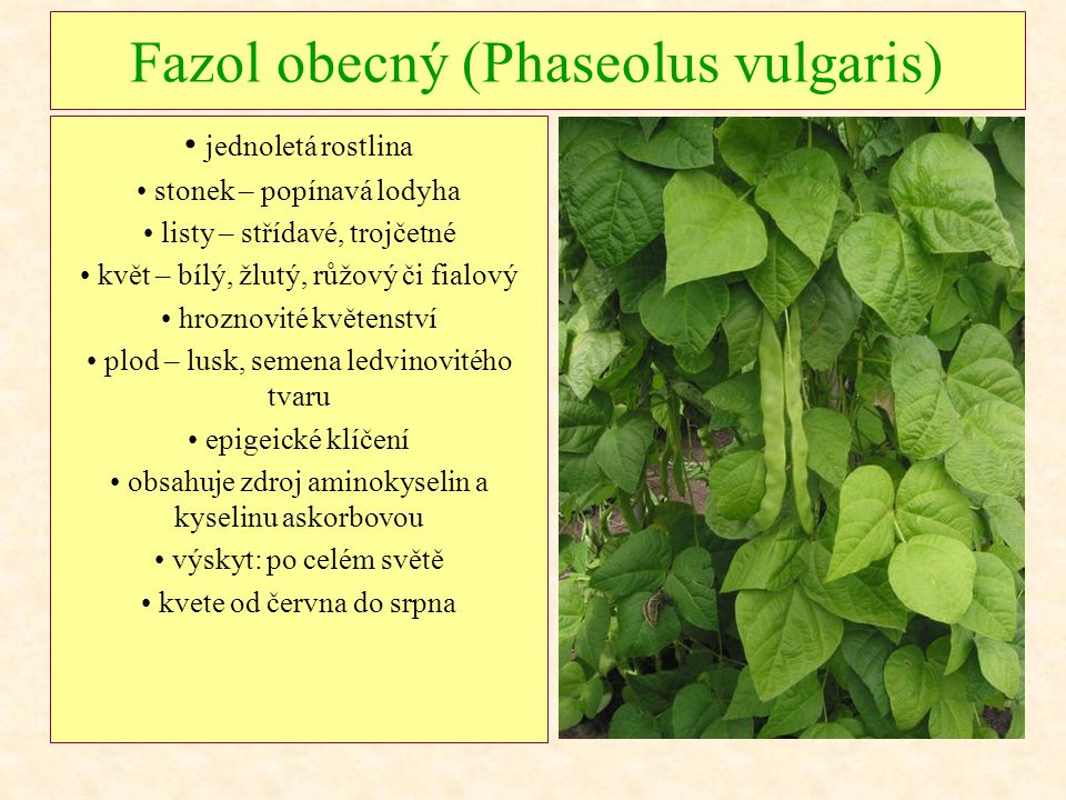 Fazol obecný (Phaseolus vulgaris) jednoletá rostlina stonek – popínavá lodyha listy – střídavé, trojčetné květ – bílý, žlutý, růžový či fialový hrozno