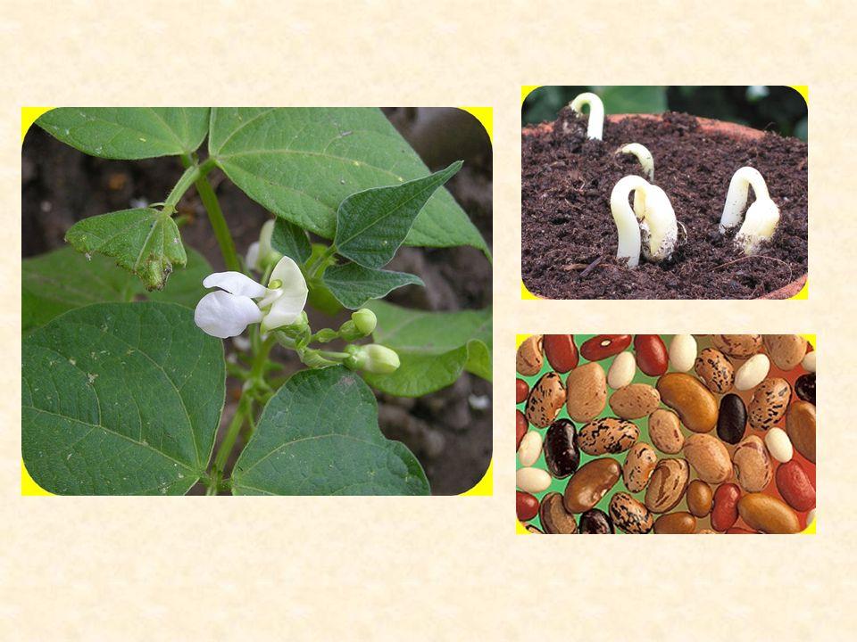 Využití Zemědělský význam: krmivo pro hospodářská zvířata (jetel, vojtěška, lupina,…) výživa obyvatelstva (fazol, hrách, sója, čočka …) důležité pícninářské, medonosné a léčivé rostliny.