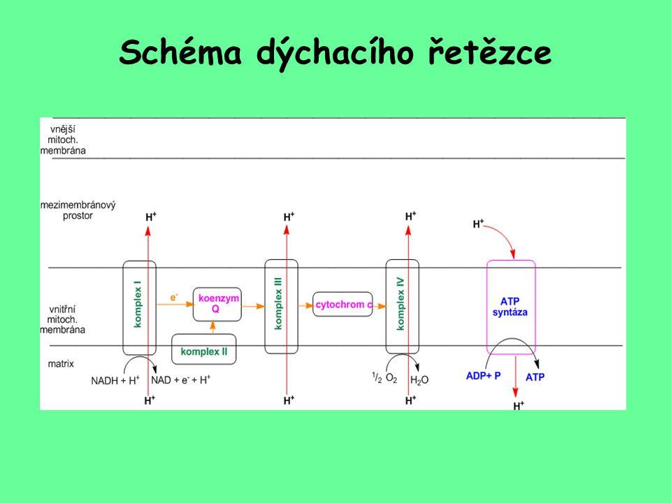 Schéma dýchacího řetězce