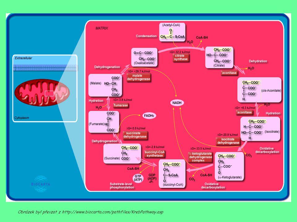 Obrázek byl převzat z http://www.biocarta.com/pathfiles/KrebPathway.asp