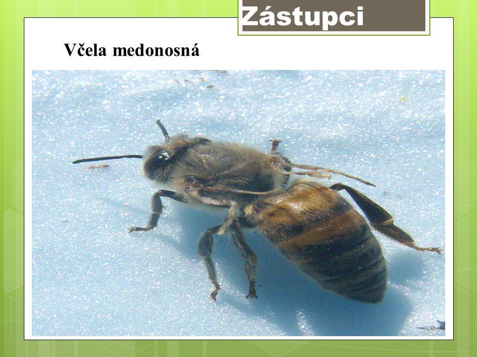 Zástupci Včela medonosná