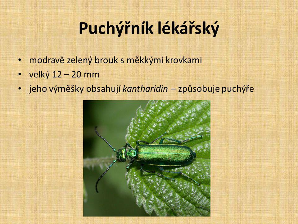 Puchýřník lékářský modravě zelený brouk s měkkými krovkami velký 12 – 20 mm jeho výměšky obsahují kantharidin – způsobuje puchýře