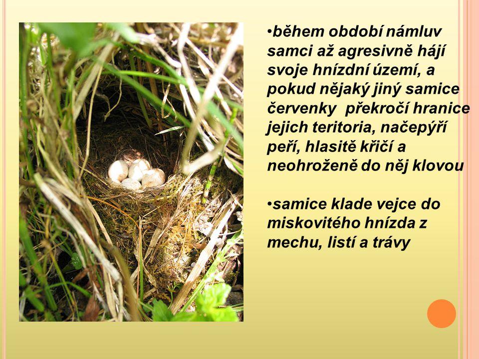 během období námluv samci až agresivně hájí svoje hnízdní území, a pokud nějaký jiný samice červenky překročí hranice jejich teritoria, načepýří peří,