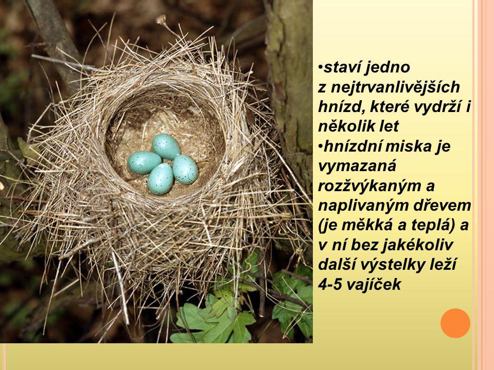 staví jedno z nejtrvanlivějších hnízd, které vydrží i několik let hnízdní miska je vymazaná rozžvýkaným a naplivaným dřevem (je měkká a teplá) a v ní