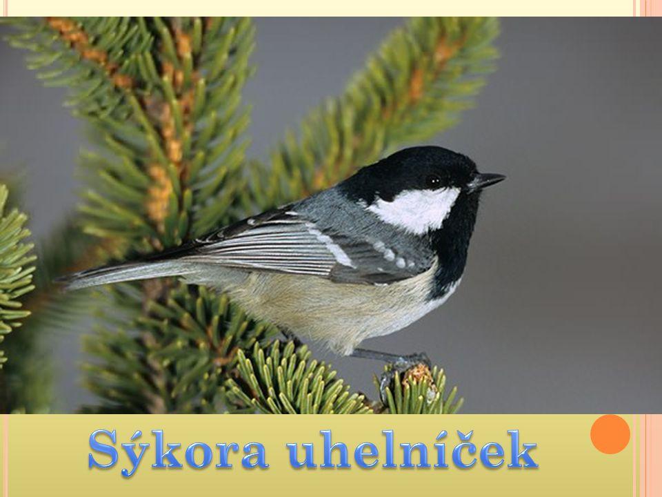 Ptáci – p ě vci Pěvci – nejpočetnější skupina ptáků se shodně utvořeným hlasovým ústrojím  např.