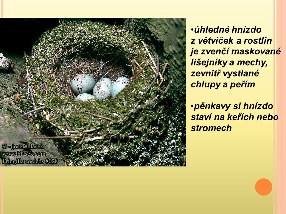 úhledné hnízdo z větviček a rostlin je zvenčí maskované lišejníky a mechy, zevnitř vystlané chlupy a peřím pěnkavy si hnízdo staví na keřích nebo stro