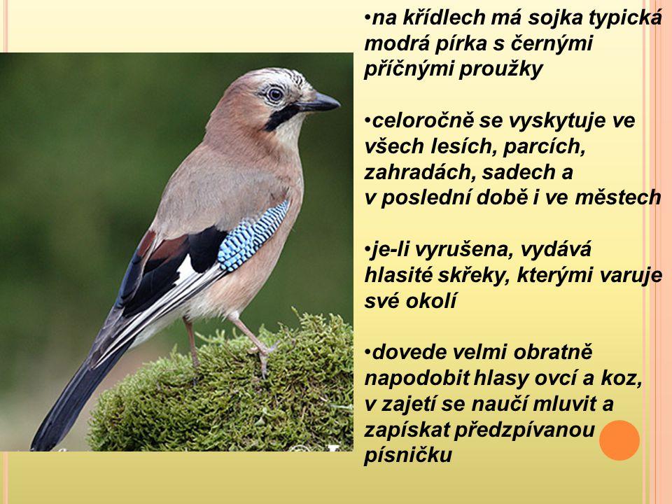 na křídlech má sojka typická modrá pírka s černými příčnými proužky celoročně se vyskytuje ve všech lesích, parcích, zahradách, sadech a v poslední do