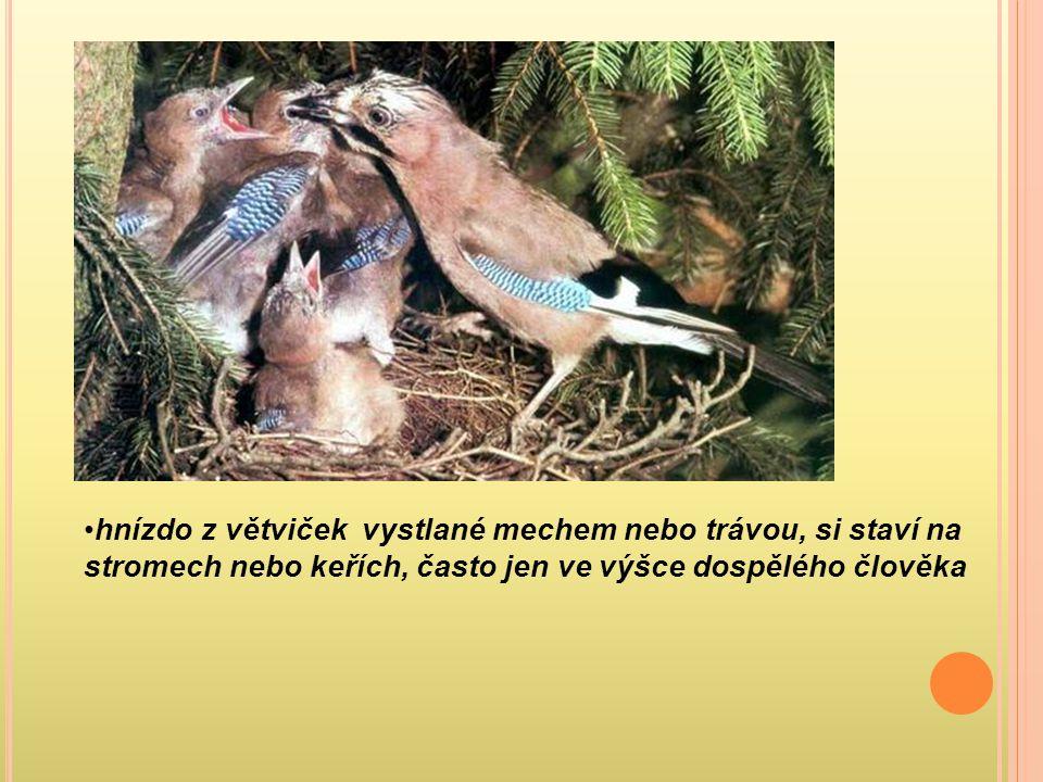 hnízdo z větviček vystlané mechem nebo trávou, si staví na stromech nebo keřích, často jen ve výšce dospělého člověka