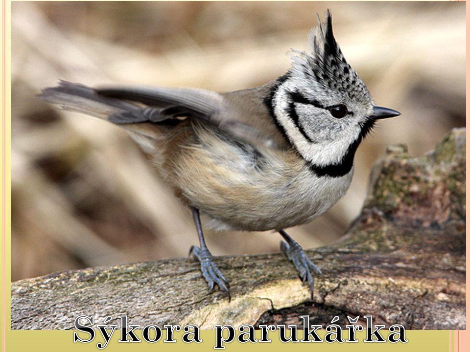 nalezneme ji všude, kde jsou stromy, nejčastěji v zahradách, parcích, v lesích i v centrech měst živí se téměř výhradně semeny, které hledá jak na zemi, tak na stromech mláďata krmí hmyzem samice a mladí ptáci odlétají na zimu na jih, samci zůstávají