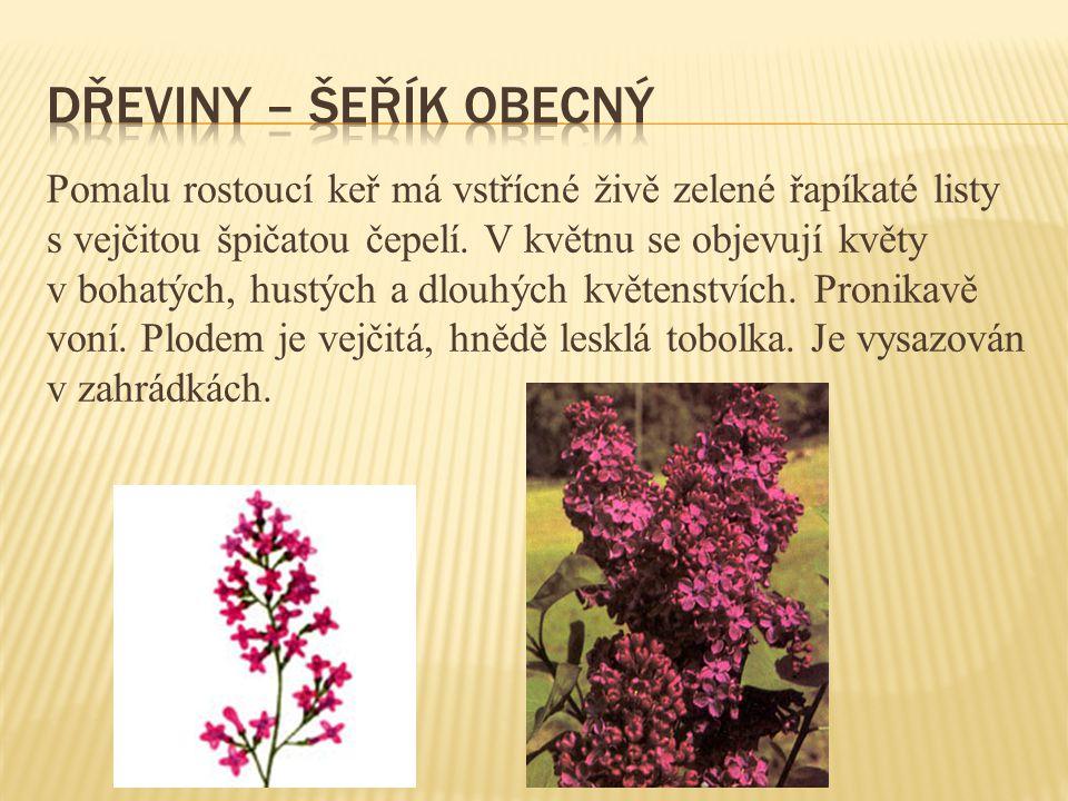 Pomalu rostoucí keř má vstřícné živě zelené řapíkaté listy s vejčitou špičatou čepelí. V květnu se objevují květy v bohatých, hustých a dlouhých květe