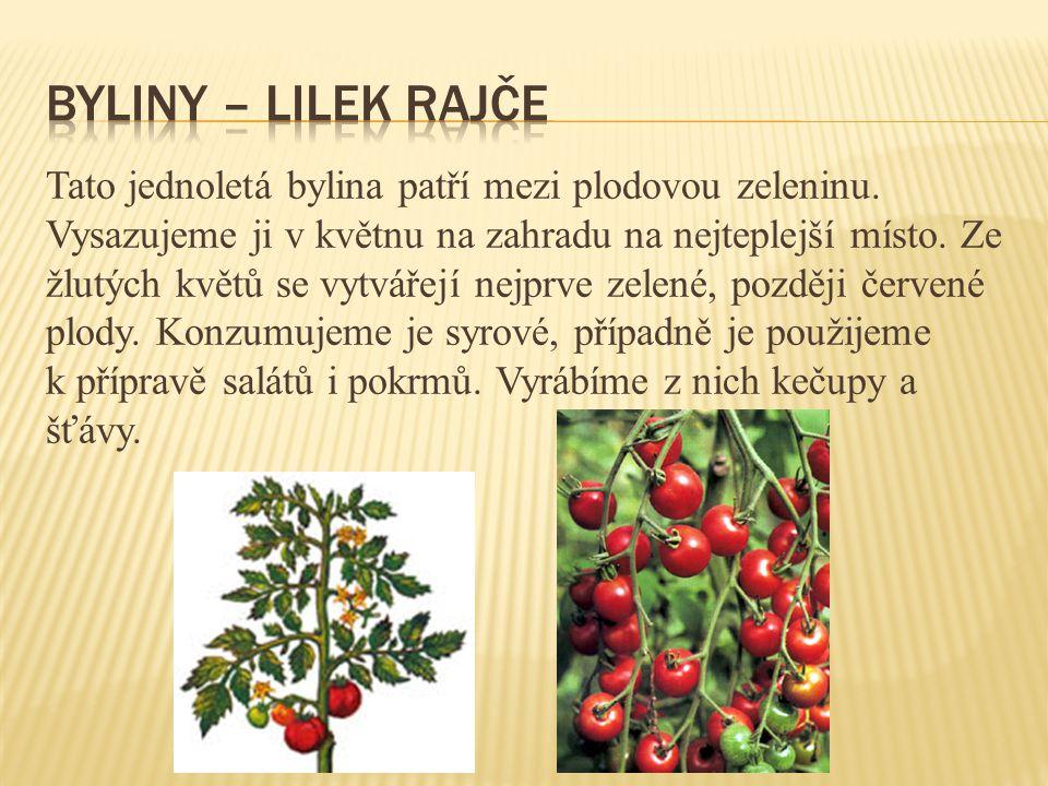 Tato jednoletá bylina patří mezi plodovou zeleninu. Vysazujeme ji v květnu na zahradu na nejteplejší místo. Ze žlutých květů se vytvářejí nejprve zele