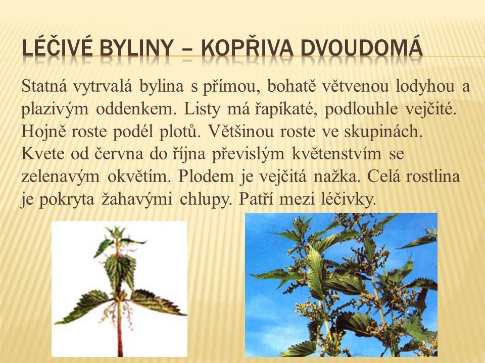 Statná vytrvalá bylina s přímou, bohatě větvenou lodyhou a plazivým oddenkem. Listy má řapíkaté, podlouhle vejčité. Hojně roste podél plotů. Většinou
