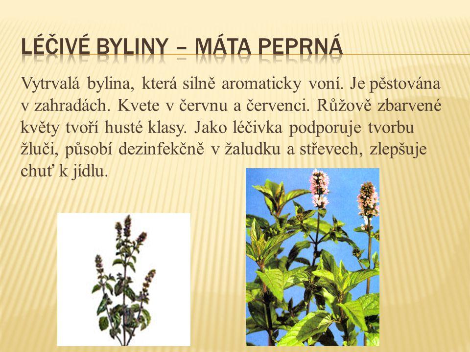 Vytrvalá bylina, která silně aromaticky voní. Je pěstována v zahradách. Kvete v červnu a červenci. Růžově zbarvené květy tvoří husté klasy. Jako léčiv