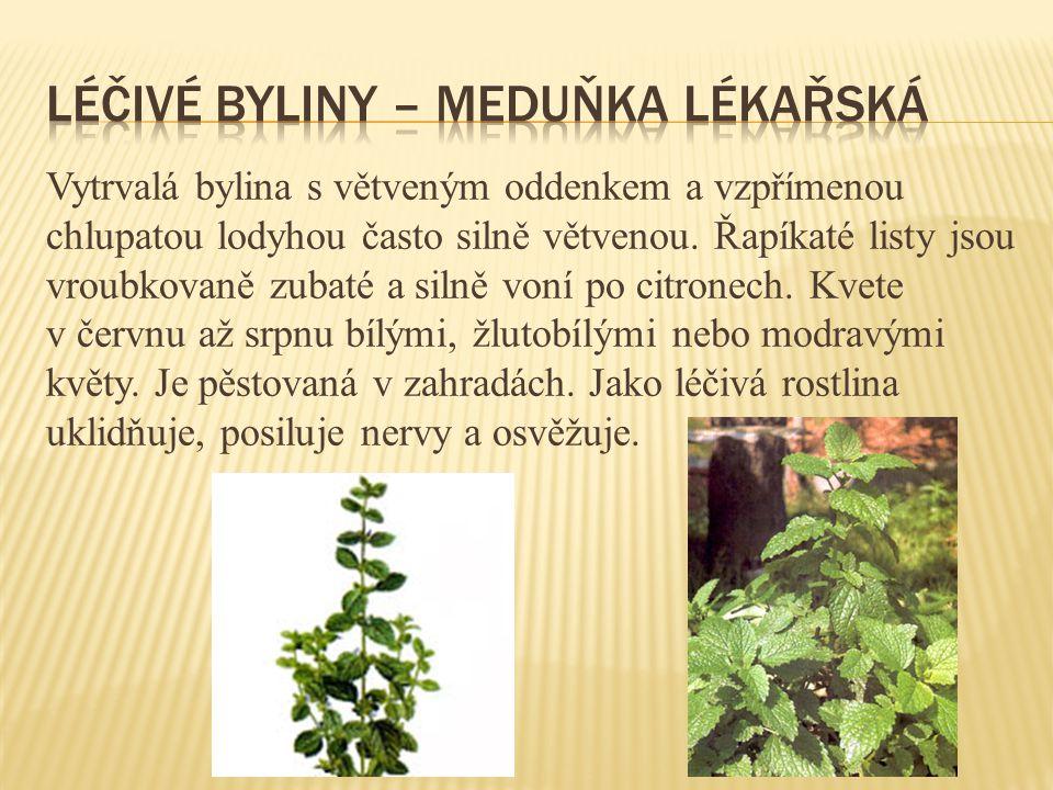 Vytrvalá bylina s větveným oddenkem a vzpřímenou chlupatou lodyhou často silně větvenou. Řapíkaté listy jsou vroubkovaně zubaté a silně voní po citron