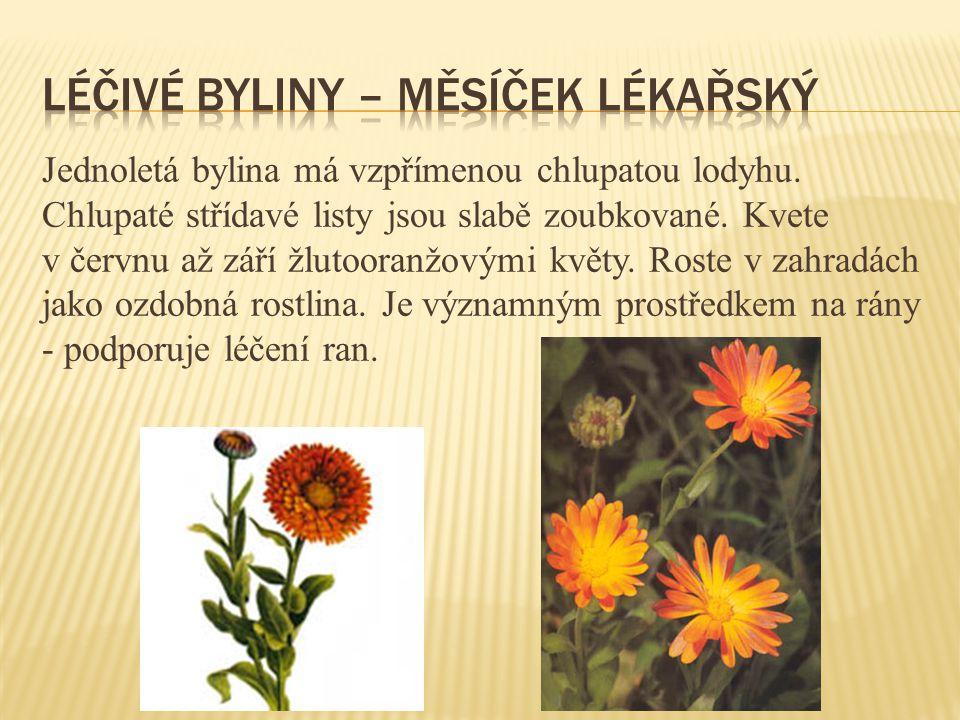 Jednoletá bylina má vzpřímenou chlupatou lodyhu. Chlupaté střídavé listy jsou slabě zoubkované. Kvete v červnu až září žlutooranžovými květy. Roste v