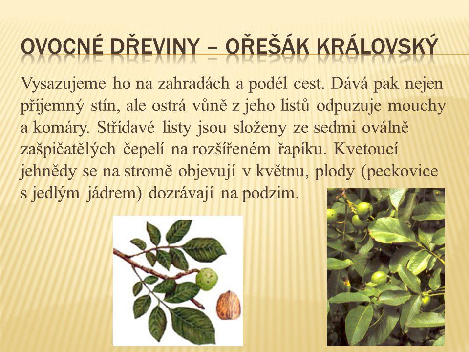 Jednoletá bylina má vzpřímenou chlupatou lodyhu.Chlupaté střídavé listy jsou slabě zoubkované.