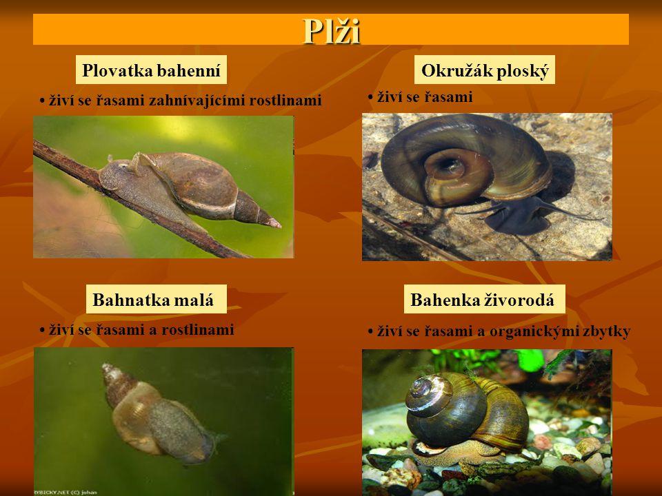 Plži Plovatka bahenníOkružák ploský Bahnatka maláBahenka živorodá živí se řasami zahnívajícími rostlinami živí se řasami živí se řasami a rostlinami ž
