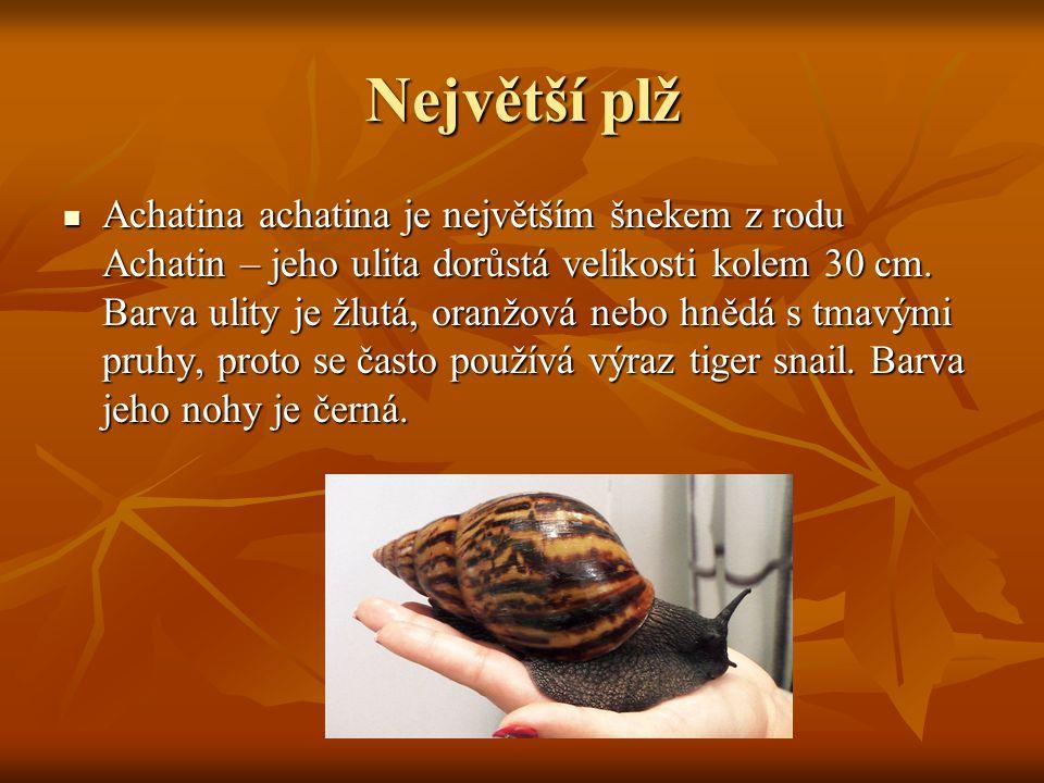 Největší plž Achatina achatina je největším šnekem z rodu Achatin – jeho ulita dorůstá velikosti kolem 30 cm. Barva ulity je žlutá, oranžová nebo hněd