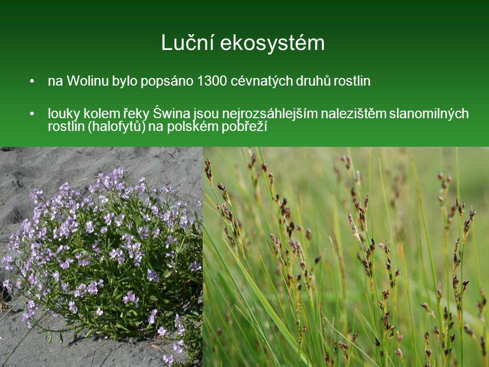 na Wolinu bylo popsáno 1300 cévnatých druhů rostlin louky kolem řeky Świna jsou nejrozsáhlejším nalezištěm slanomilných rostlin (halofytů) na polském pobřeží Cakile maritima Luční ekosystém