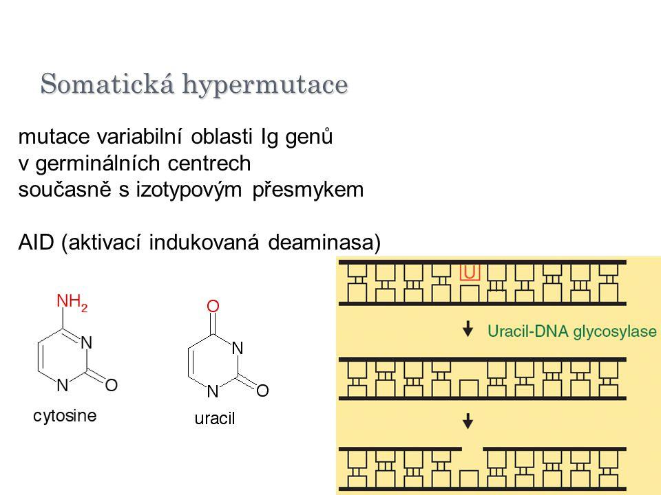 Somatická hypermutace mutace variabilní oblasti Ig genů v germinálních centrech současně s izotypovým přesmykem AID (aktivací indukovaná deaminasa)