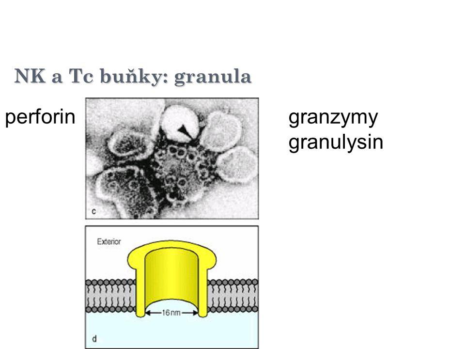 NK a Tc buňky: granula perforingranzymy granulysin